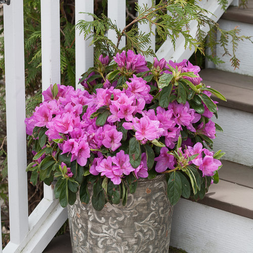 Bloom-A-Thon® Lavender - Reblooming Azalea - Rhododendron x