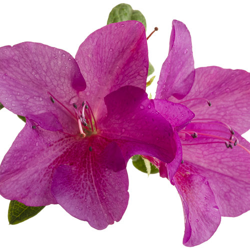bloom-a-thon_lavender_rhododendron_03.jpg