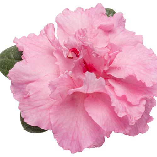 bloom-a-thon_pink_azalea_02.jpg