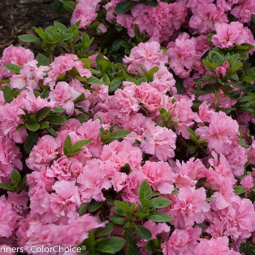 bloom-a-thon_pink_double_azalea-2.jpg