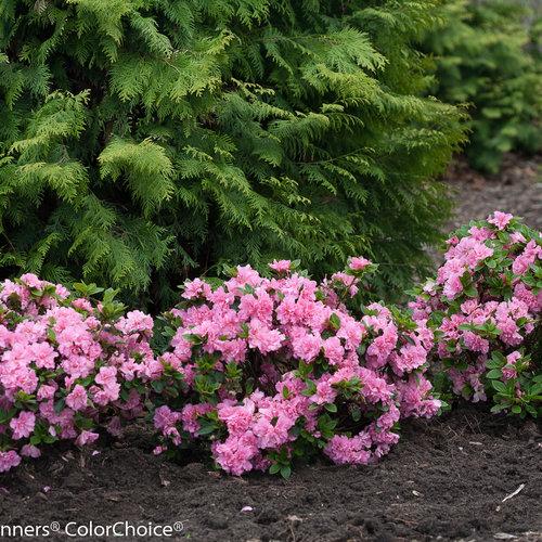 bloom-a-thon_pink_double_azalea-2_2.jpg