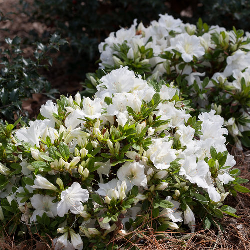 bloom-a-thon_white_azalea-3.jpg