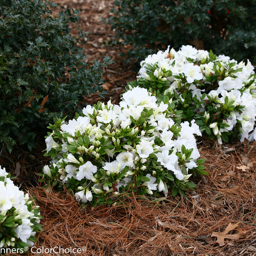 bloom-a-thon_white_azalea-5.jpg