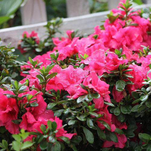 bloom_a_thon_hot_pink_azalea_reblooming.jpg