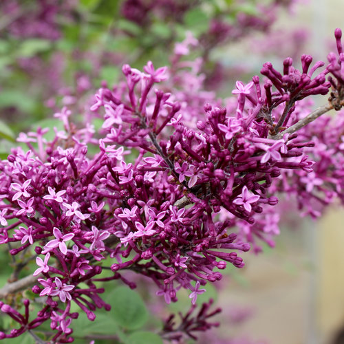 bloomerang_dark_purple_lilac_bloom.jpg