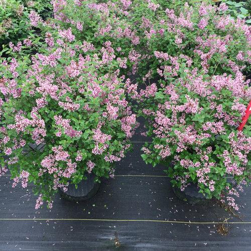 bloomerang_dwarf_purple_lilac_plants.jpg