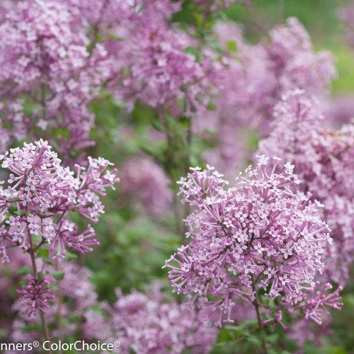 bloomerang_purple_syringa-1365.jpg