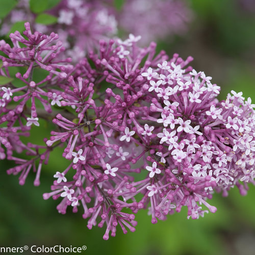 bloomerang_purple_syringa-1380.jpg