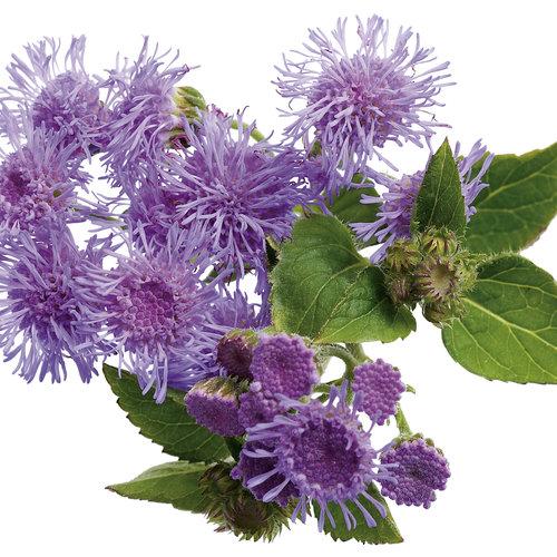 blossomageratum02.jpg