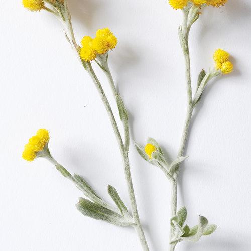 blossomflamb02.jpg