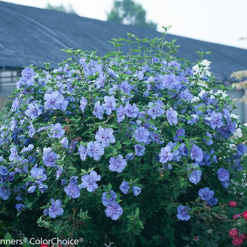 blue_chiffon_hibiscus-3.jpg