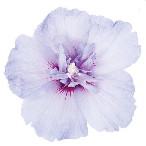 blue_chiffon_hibiscus3.jpg