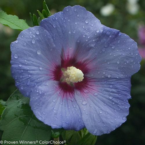 Hibiscus Care: Blue Satin® - Rose Of Sharon - Hibiscus Syriacus