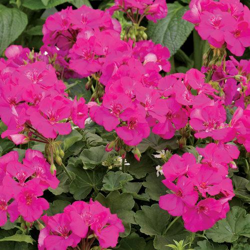 Boldly® Lavender Rose - Geranium - Pelargonium interspecific