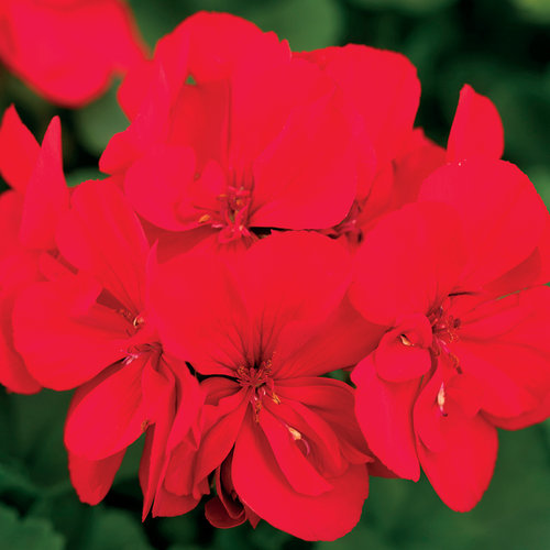 Boldly® Scarlet Fire - Geranium - Pelargonium interspecific