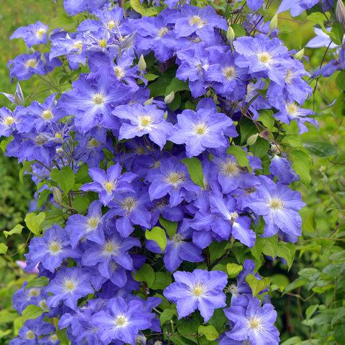 brother_stefan_clematis_blue_flowers.jpg