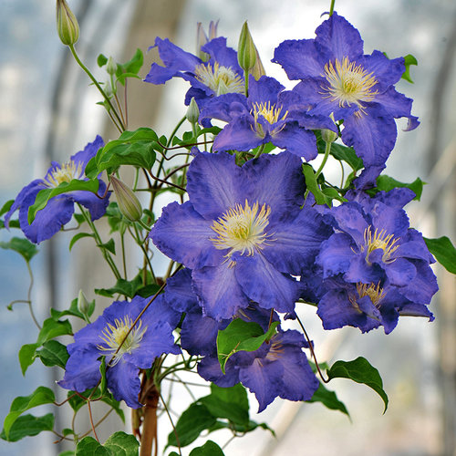 Brother Stefan® - Clematis sp.
