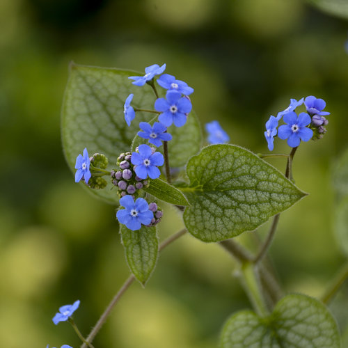 brunnera_queen_of_hearts_apj17_17.jpg