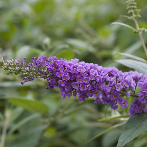buddleia_lo__behold_blue_chip_8687.jpg