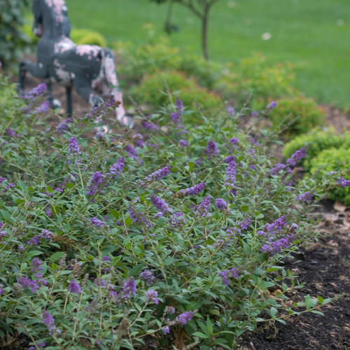 Lo Amp Behold 174 Blue Chip Butterfly Bush Buddleia