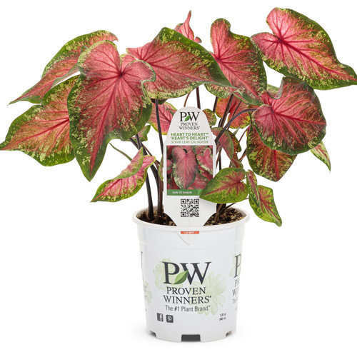 caladium_heart_to_heart_hearts_delight_1-qt.jpg