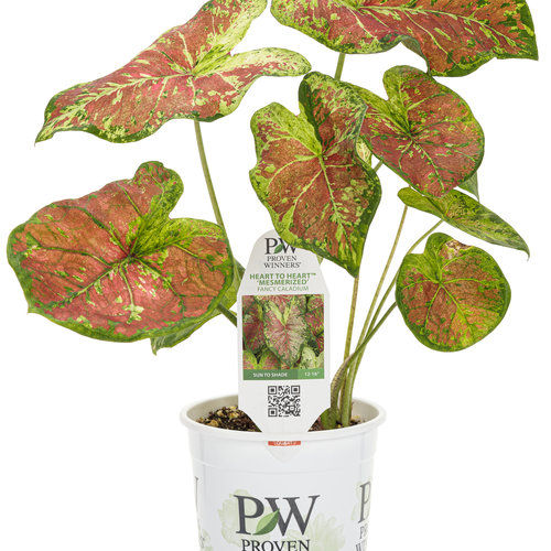 caladium_heart_to_heart_mesmerized_1-qt.jpg