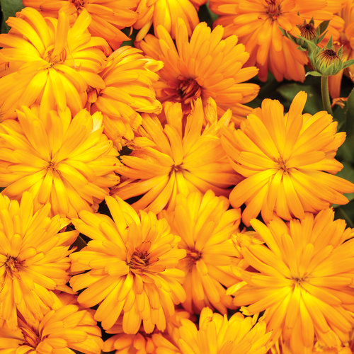Lady Godiva® Orange - English Marigold - Calendula hybrid