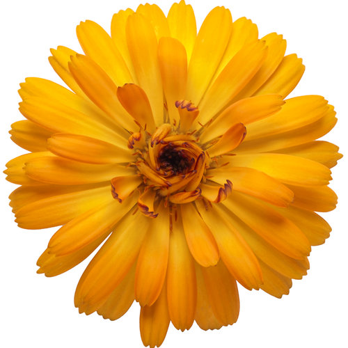calendula_lady_godiva_orange_04.jpg