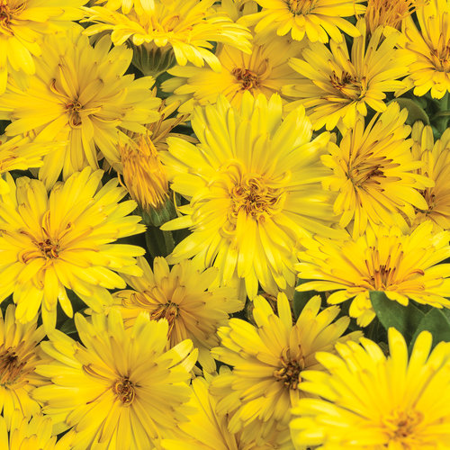 Lady Godiva® Yellow - English Marigold - Calendula hybrid