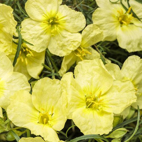 Ladybird™ Lemonade - Texas Primrose - Calylophus hybrid