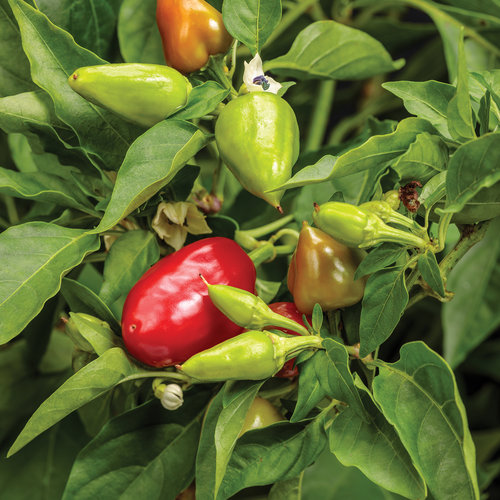 Fire Away® Hot and Heavy - Hot Pepper - Capsicum annuum