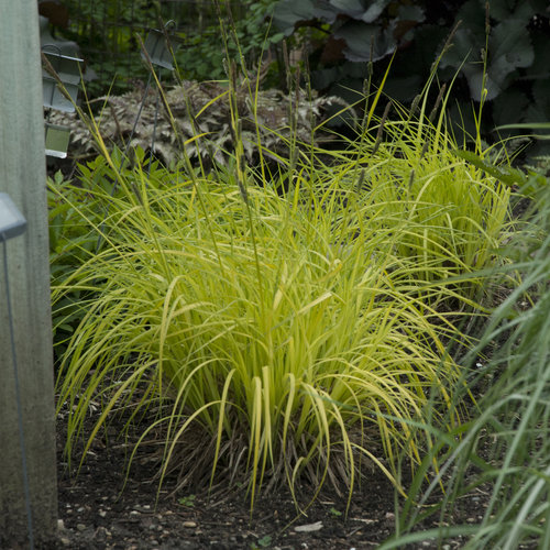 carex_bowles_golden.jpg