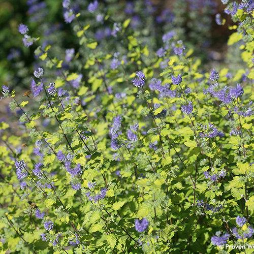 caryopteris_improved_sunshine_blue_yellow_bluebeard.jpg