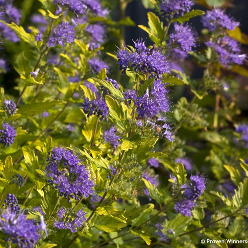 Sunshine Blue® II - Bluebeard - Caryopteris incana