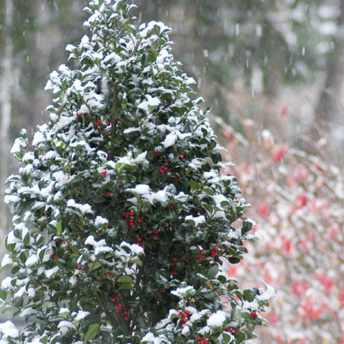 Castle Spire® - Blue Holly - Ilex x meserveae