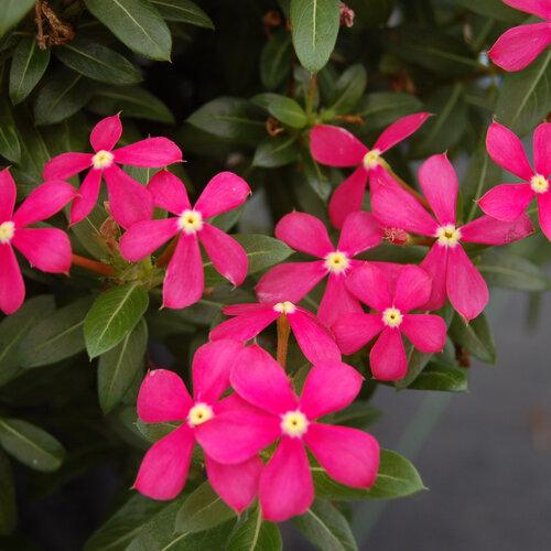 Soiree Kawaii® Coral Reef - Vinca - Catharanthus hybrid