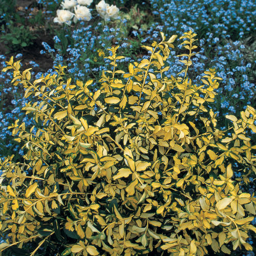 Blondy® - Wintercreeper - Euonymus fortunei