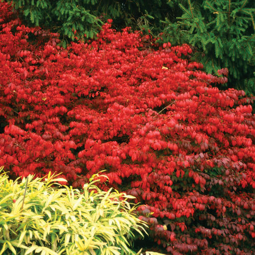 Fire Ball 174 Burning Bush Euonymus Alatus Proven Winners