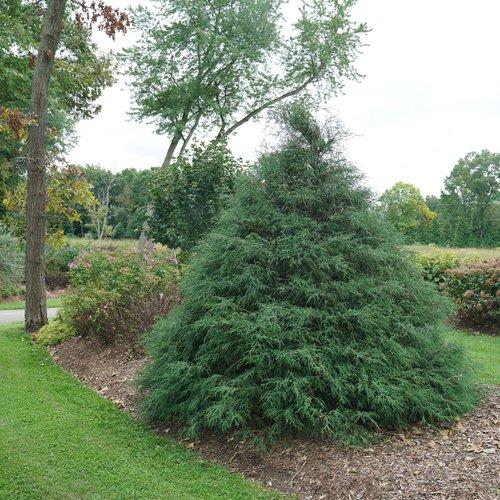 Haywire™ - False Cypress - Chamaecyparis lawsoniana