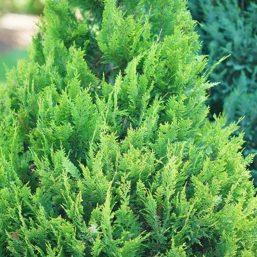 Pinpoint® Gold - False Cypress - Chamaecyparis lawsoniana