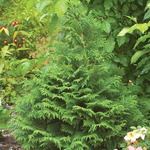 Soft Serve® - False Cypress - Chamaecyparis pisfera