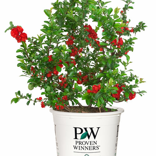 chenomeles_double_take_scarlet_branded_container.jpg