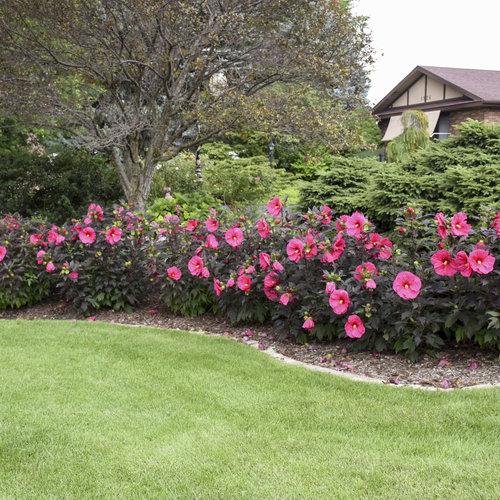 christa_steenwyk-hibiscus_evening_rose_web.jpg