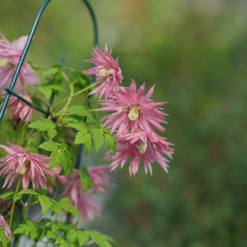 clematis_sparky_pink_dsc00384.jpg