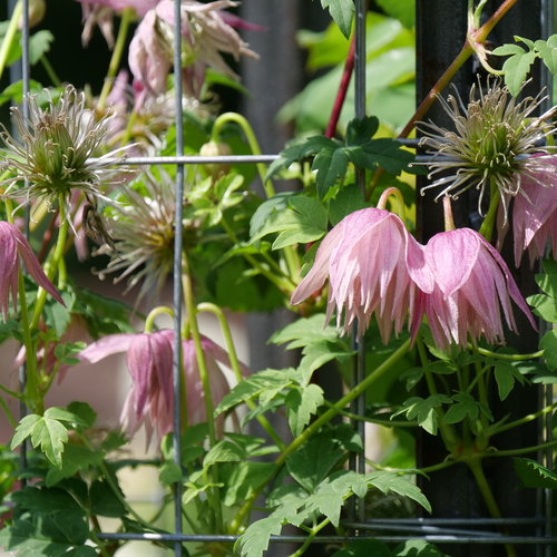 Sparky™ Pink - Clematis