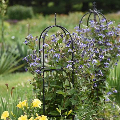 clematis_stand_by_me_cjw19_3.jpg
