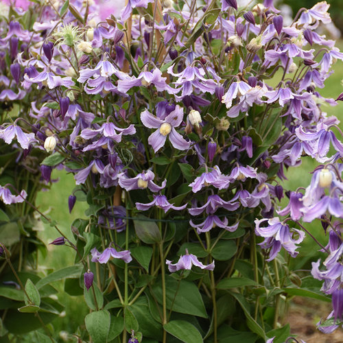 'Stand by Me Lavender' - Bush Clematis - Clematis hybrid