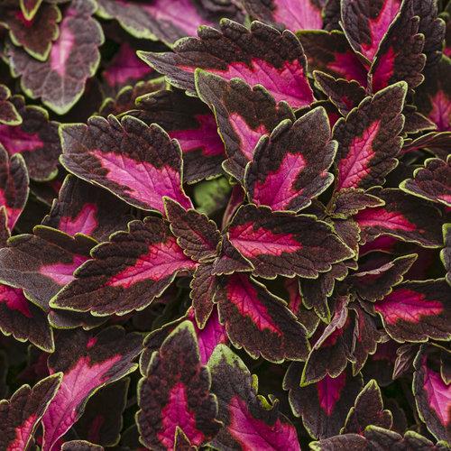 ColorBlaze® Velveteen® - Coleus - Solenostemon scutellarioides