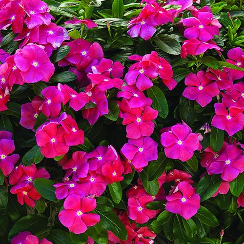 Cora® Cascade Cherry® - Vinca - Catharanthus roseus