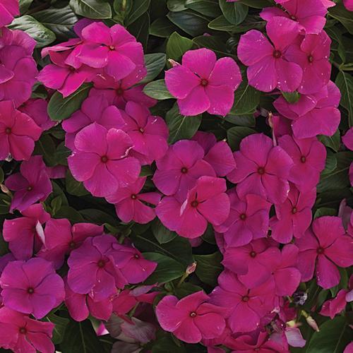 Cora® Cascade Magenta - Vinca - Catharanthus roseus